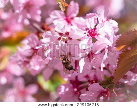 Insect Bee Flew To Branch Of Cherry Blossoms, Collecting Nectar. A Sunny Day In The Spring. Pollinat