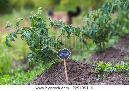 Tomato Bush In The Garden. Green Young Fruits Of A Tomato. A Plate With A Tomato Pointer Near A Bush