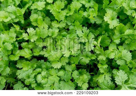 Fresh Leaf Green Coriander In A Garden. Vegetable Coriander For Health Is Used As A Food Ingredient