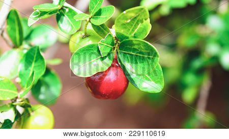 Acerola Fruit On The Tree Branch.