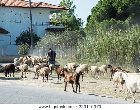The Shepherd Drives A Small Flock Of Goats And Sheep On The Road