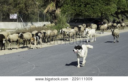 Dog Protects A Small Herd Of Goats And Sheep