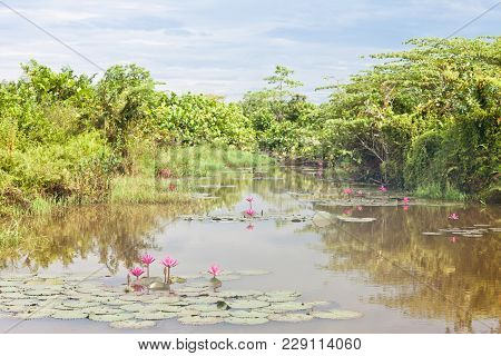 Beruwela, Sri Lanka, Asia - Blooming Water Lilies On A Lake Near Beruwela