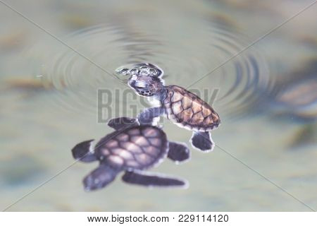 Koscoda, Sri Lanka, Asia - Two Little Turtles Playing At The Water Surface