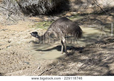 A Young Emu Is Next To A Billabong After Cooling Off In The Water