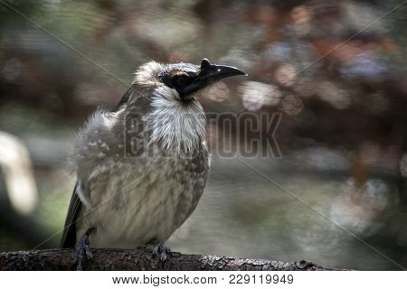 This Is A Close Up Of A Noisy Friar Bird