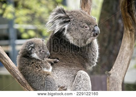 The Koala And Joey Are Resting In A Tree Branch