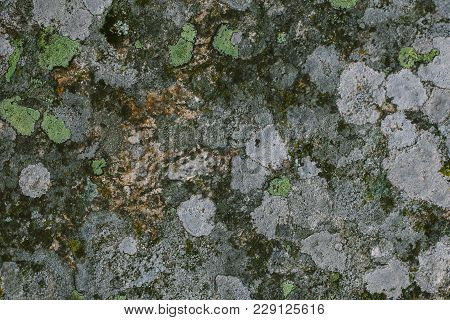 Natural Lichen And Moss Background And Texture. Old Gray Wall Covered With Lichen And Moss. Organic