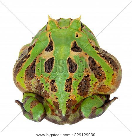 The Brazilian Horned Frog, Ceratophrys Aurita, Isolated On White Background