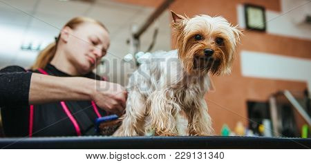 Grooming Yorkshire Terrier Professional Hairdresser. Hairdresser Mows Yorkshire Terrier Fur On The E