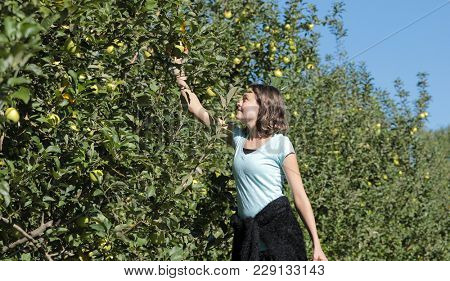 Teenage girl picking apples in orchard.