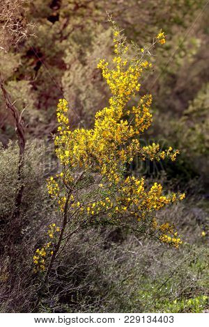 Yellow, Beautiful, Bright, Small Bush (calicotome Villosa) Grows And Flowering In The Mountains On A