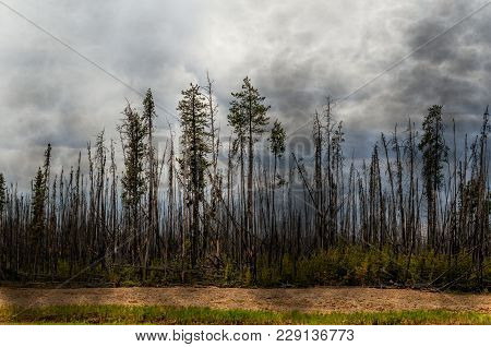 Scorched Forest, Tall Trees With Charred Trunks And Bark, Green Grass And Bushes, Yellow Chips Of Tr