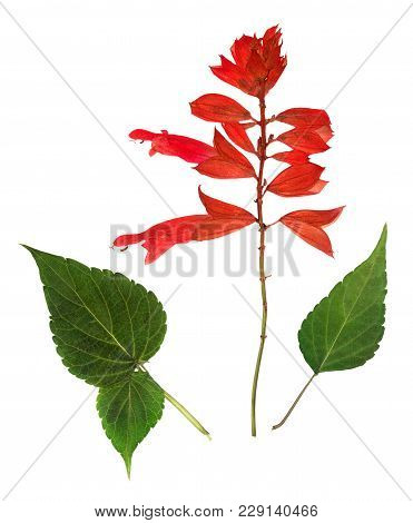 Pressed And Dried Flower Salvia (sage, Clary), Isolated On White Background. For Use In Scrapbooking