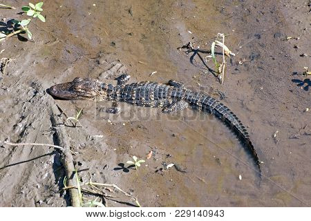 A Young Alligator Hunting In A Muddy Swamp.
