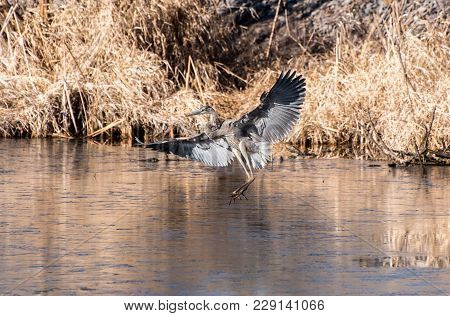 A Blue Heron Lands On An Icy Pond In Search Of Food.