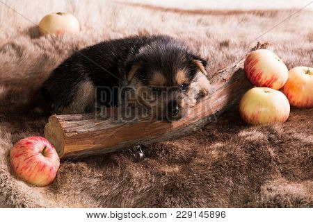 The Puppy Of Breed The Australian Terrier Lies On A Skin Near Apples