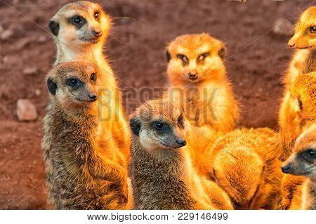 The Group Meerkat Is Basking In The Warm Afternoon Sun
