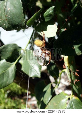 A Australian Spider Starting To Eat A Lizard Caught In Its Web