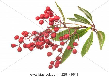 Closeup Fresh Ripe Heteromeles Arbutifolia Toyon Fruits On Leafy Branch Isolated On White Background