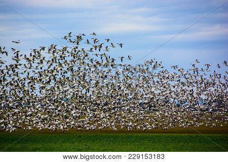 Swarms Of Snow Geese Gather In The Skagit Valley Every Winter