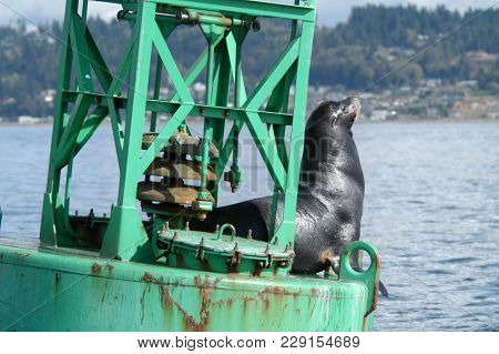 Single Sea Lion On Navigation Buoy On Sunny Afternoon.