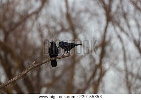 Two Black Natural Carrion Crow Raven Birds (corvus Corone) On Branch In Forest