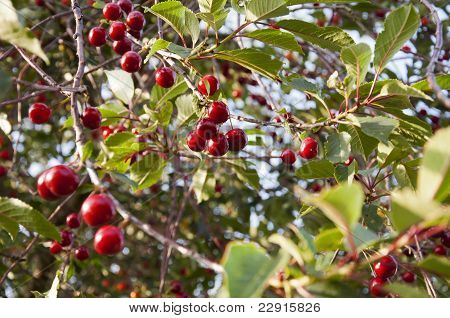 Cherry's hanging in tree
