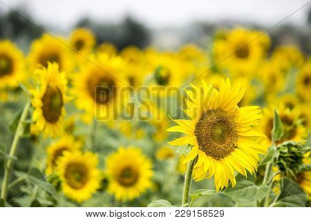 Field With Sunflowers. Young Sunflowers. Agriculture And Sunflower Oil