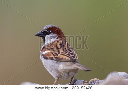 Portrait Natural Male House Sparrow (passer Domesticus)