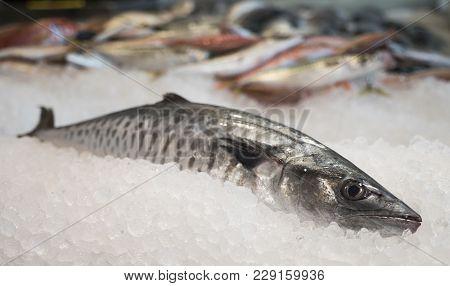 Atlantic Bonito Fresh Fish On Ice