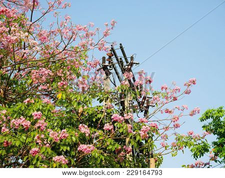 Utility Pole Surrounded By  Tabebuia Rosea On Blue Sky Background
