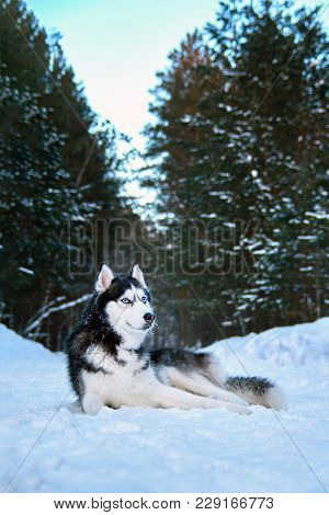 Beautiful Husky Dog Lies On Snow In Winter Coniferous Forest. Noble Black And White Siberian Husky W
