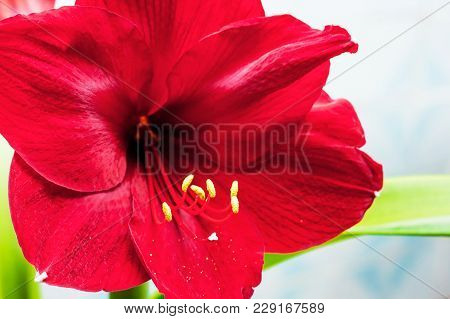 Red Amaryllis Flower On A Light Background, Sale And Purchase Of Amaryllis