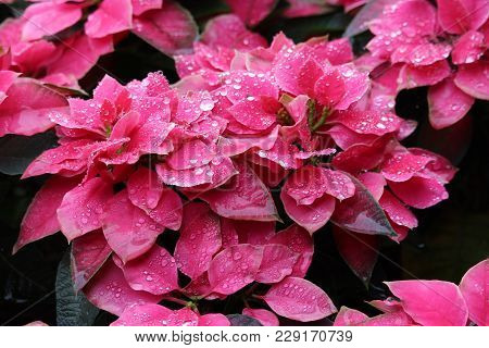 Crystal Water Glistening On Pink Poinsettia Flowers
