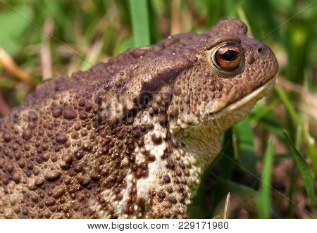 Close Up Of A Common Toad Bufo Bufo