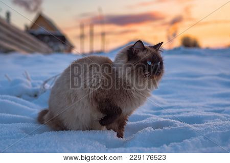 Fluffy Cat Sitting In The Snow In The Village. Lonely Fluffy Cat With Blue Eyes At Sunset. Walking W