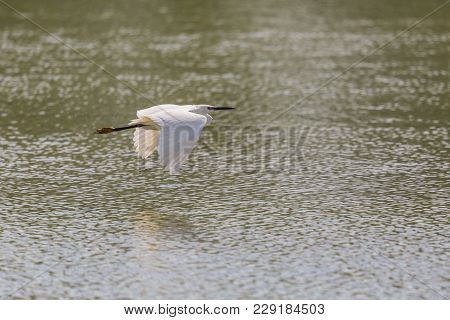 Natural Little Egret (egretta Garzetta) Flying Over Green Water Surface, Spread Wings