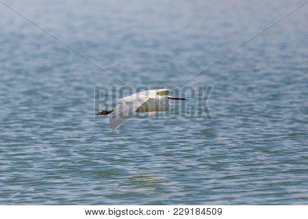 Natural Little Egret (egretta Garzetta) Flying Over Blue Water Surface, Spread Wings