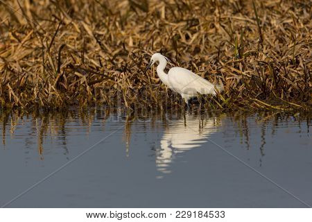 Natural Little Egret (egretta Garzetta) Standing At Reed Belt, Reflected On Water Surface