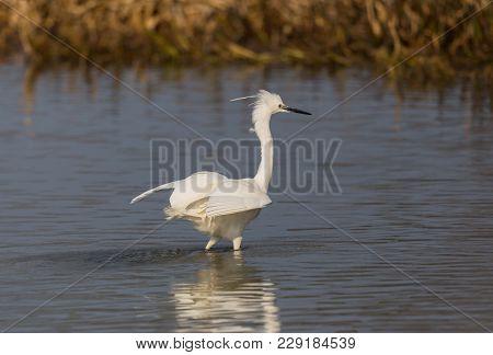 Natural Little Egret (egretta Garzetta) Standing, Water, Reed Belt, Sunlight