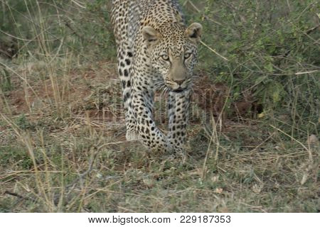 A Leopard (panthera Pardus),chui In Swahili Language.