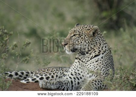 A  Male Leopard (panthera Pardus),chui In Swahili Language.