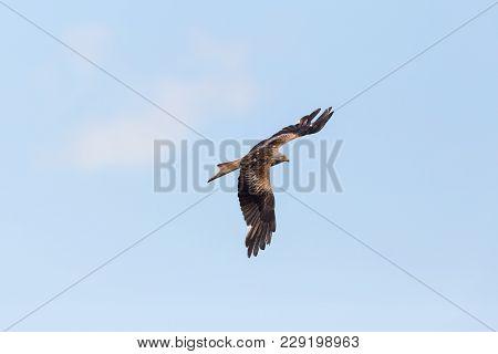 Flying Natural Red Kite (milvus Milvus), Blue Sky, White Cloud, Spread Wings