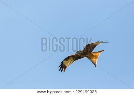 Portrait Flying Natural Red Kite Bird Of Prey (milvus Milvus), Blue Sky, Spread Wings
