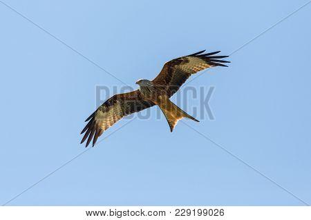 Bottom View Natural Red Kite Bird (milvus Milvus) Flying, Blue Sky, Spread Wings