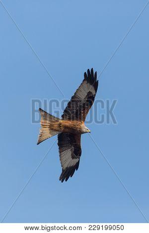 Close View Natural Red Kite Bird (milvus Milvus) In Flight, Blue Sky, Spread Wings