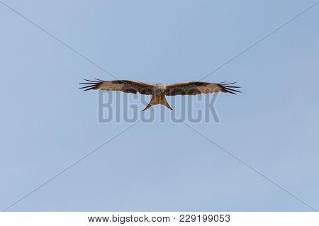 Natural Red Kite Bird (milvus Milvus) Searching Prey, Blue Sky, Spread Wings