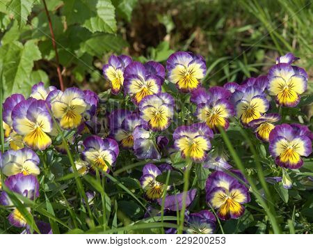 Viola Tricolor Lat. Viola Tricolor, Or Pansy