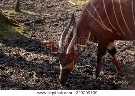 A Grazing Lowland Bongo Antelope (tragelaphus Eurycerus)